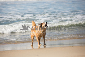 dog standing on the beach barking with teeth bared