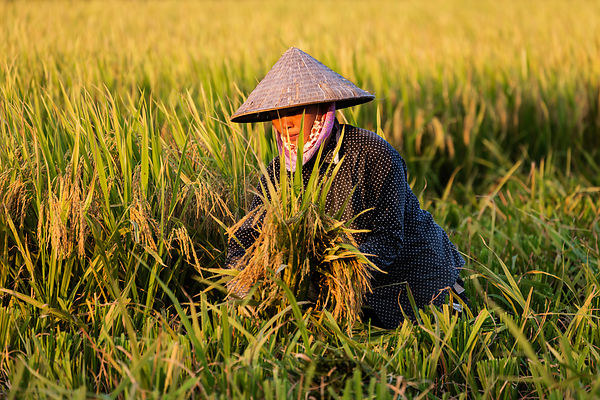 Vietnamese Rice Worker Harvesting Rice
