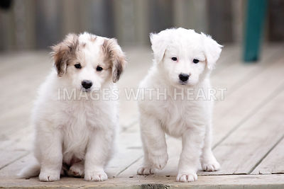 Two white puppies on deck