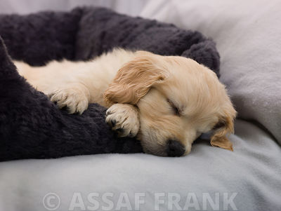 Sleeping puppy