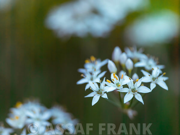 Allium flowers - Outdoors