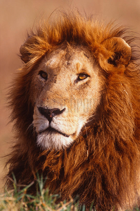 Portrait of a Male Lion