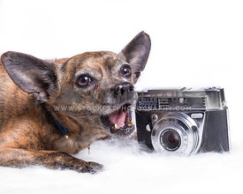 chihuahua and pinscher mixed breed trying to bit an antique camera