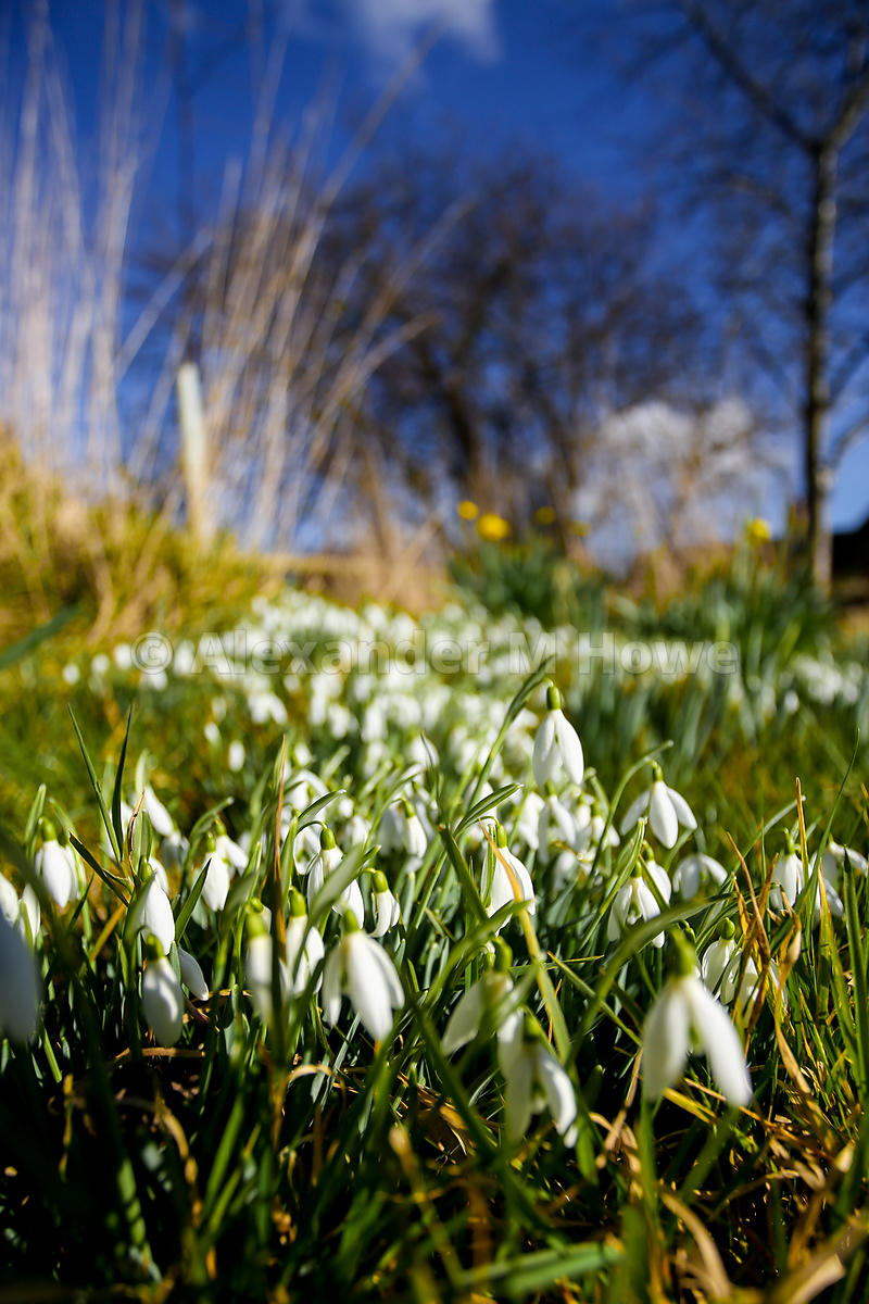 Snowdrops on a Grassy Bank against a Brilliant Blue Sky
