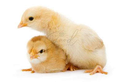 Two baby yellow chickens isolated on white