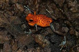 Oophaga pumilio - Strawberry Poison Frog