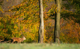 Red Deer at Autumn