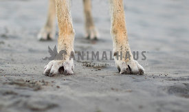 sandy feet of a German shepherd dog on the beach close up