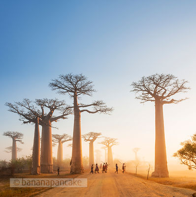 MAD0505SQ - Misty Dawn, Avenue of the Baobabs, Madagascar