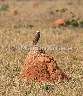 Burrowing Owl (Athene cunicularia) standing on a termite mound, Transpantaneira, North Pantanal, Mato Grosso, Brazil