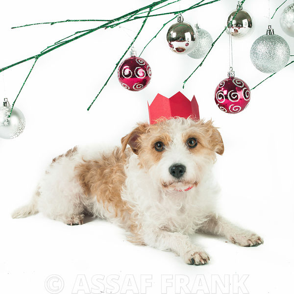 Dog under a branch with christmas baubles