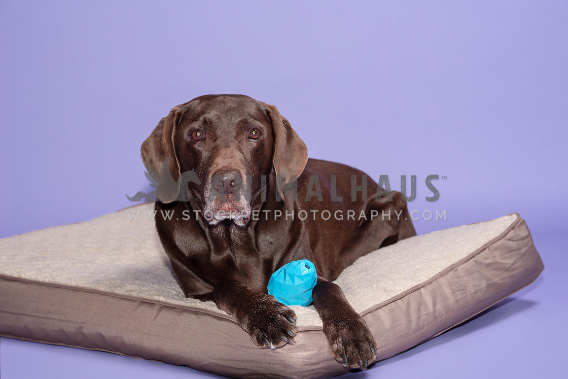 older chocolate lab lying on dog bed with blue hard toy between his front paws