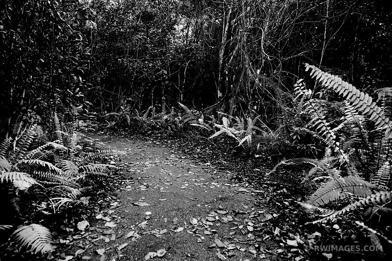 GUMBO LIMBO TRAIL EVERGLADES NATIONAL PARK FLORIDA BLACK AND WHITE