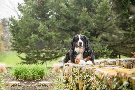 bernese mountain dog lying on stone wall in front of trees