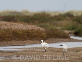 Little Egret Egretta garzetta Holme North Norfolk