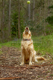 Golden Retriever waiting to catch tennis ball