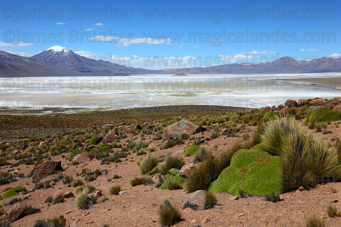 View over Salar de Surire and yareta plant ( Azorella compacta ) Region XV , Chile