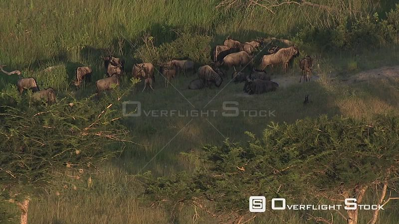 Aerial shot of a herd of wildebeest in the bush Nelspruit Mpumalanga South Africa