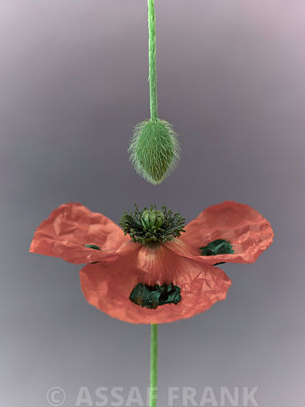 Close-up of poppy with flower bud hanging