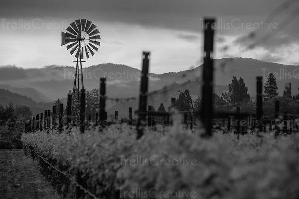Black and whute shot of windmill in a vineyard