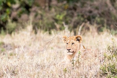 Baby Lion Lying in Graslands of Kenya