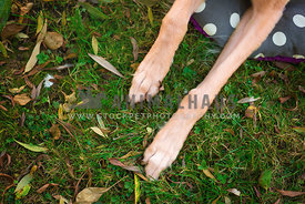 close up of lurcher front paws on grass