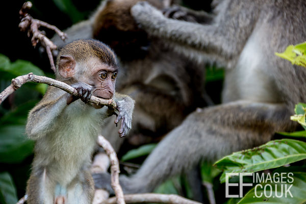 Baby Macaque Monkey In The Kinabatangan Rainforest