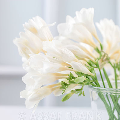 White Freesias in glass jar
