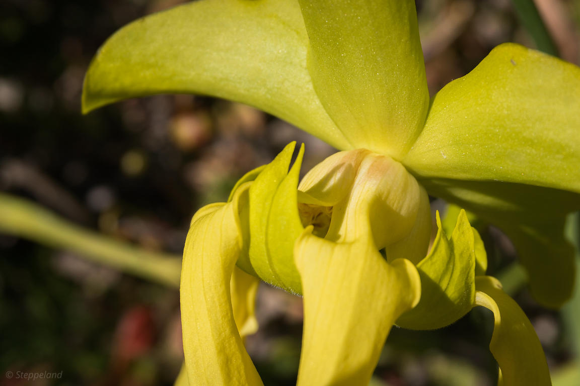 Flower of the yellow pitcherplant - close-up