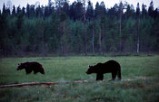 Brown Bears on Duckboards in Summer Night