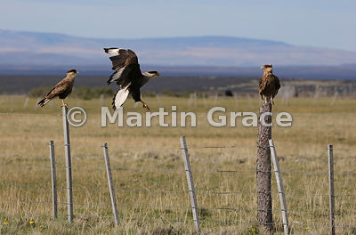 Adult Southern Crested Caracara (Southern Caracara, Carancho) (Caracara plancus) flies towards a juvenile (right), Patagonia,...