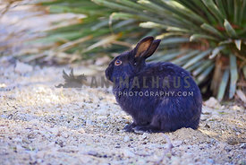 Black bunny sits in the desert