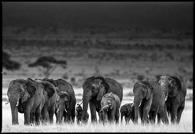 8479-Elephants_herd_walking_in_the_arid_plain_Laurent_Baheux