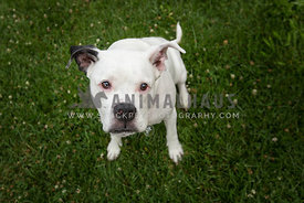 white dog looking up at camera with spit bubble on grass