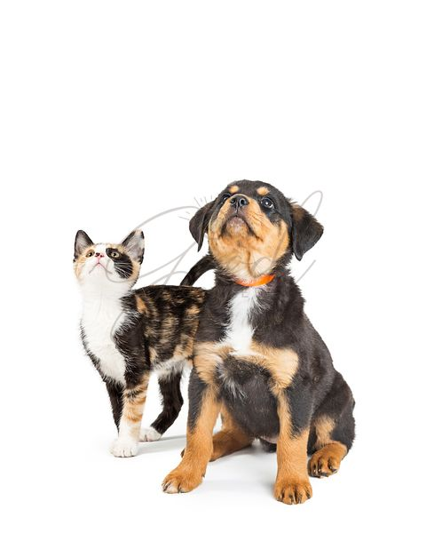 Cute Puppy and Kitten Looking Up Into Copy Space