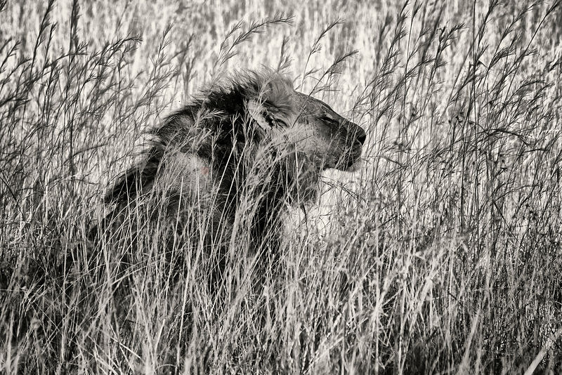 Portrait of a Male Lion in Long Grasses