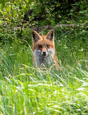 Red_Fox_-9_April_24_2019_