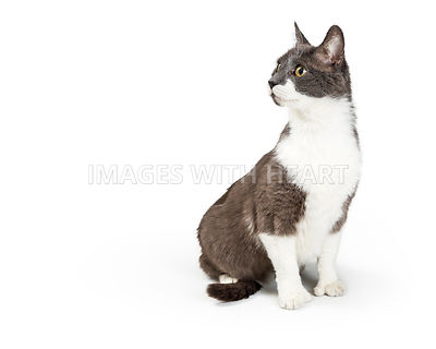 Gray and white cat sitting looking to side