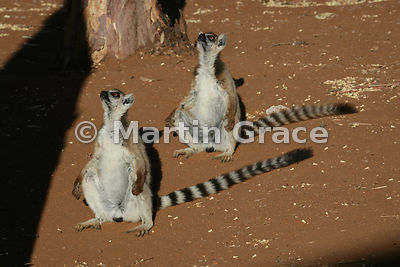 Synchronised upward gazing by two sunbathing Ring-Tailed Lemurs (Lemur catta), Berenty Reserve, Madagascar
