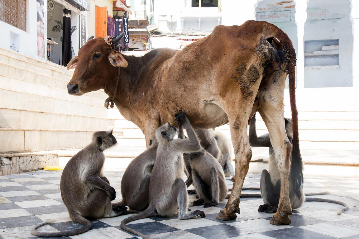 Langur monkeys pick insects off a cow on the ghats of Pushkar Lake, Pushkar, Rajasthan, India