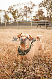 Shar Pei mix with bandana in field on farm with horse