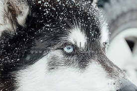 close up of snow flakes on blue-eyed siberian husky  sled dog