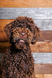 Chocolate Labradoodle against wooden background with startled expression