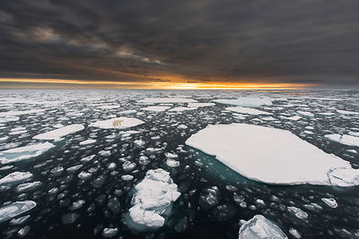 Polar bear (Ursus maritimus) on ice floe at sunset, north of Spitsbergen, Svalbard, September.