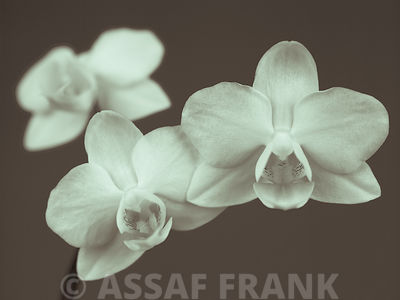 Close-up of white Orchids (sepia)