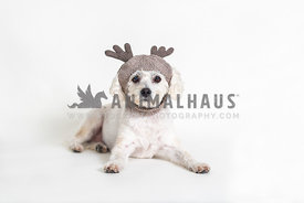 Small dog wearing wool reindeer hat against white background.