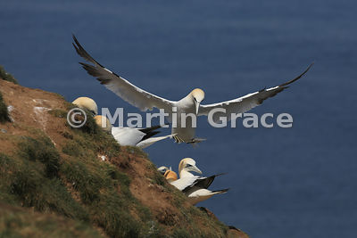 Northern Gannet (Morus bassanus) in flight, about to land, Bempton Cliffs (RSPB), East Riding of Yorkshire, England