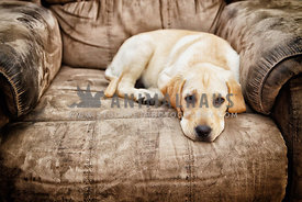 labrador puppy lying on chair