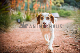 Happy Beagle running