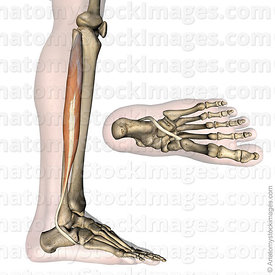 lowerleg-musculus-peroneus-longus-fibularis-muscle-tendon-side-skin